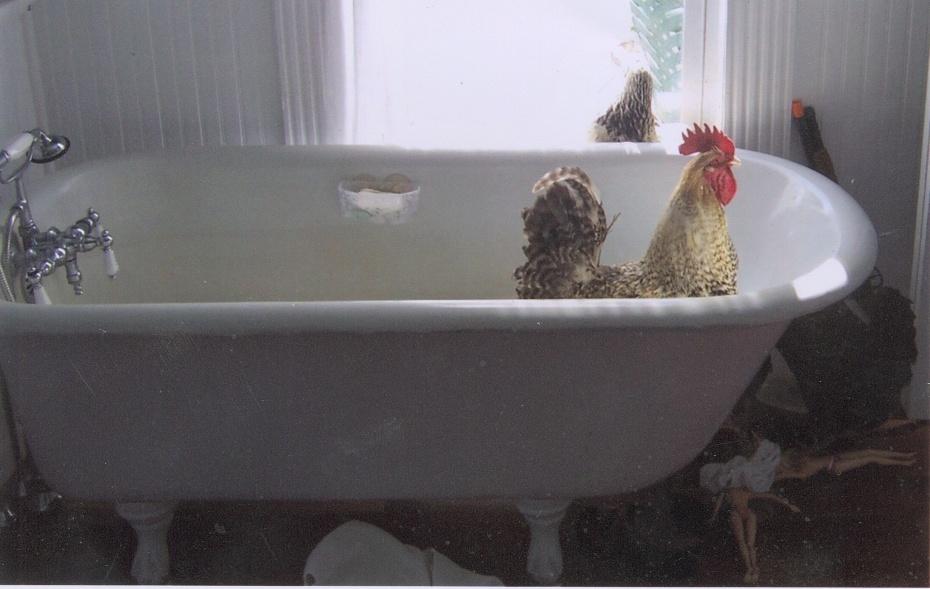 farmer chicken in the tub